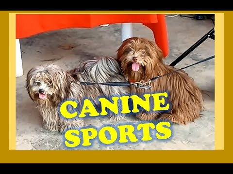 Davao Dog Sports League, Agility Competition at Azuela Cove/  Vlog Review No. 47